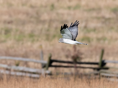 Northern Harrier 8 Nov 2018-4941