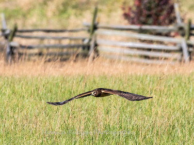 Northern Harrier 7 Nov 2018-4839