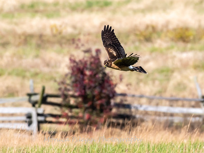 Northern Harrier 7 Nov 2018-4836