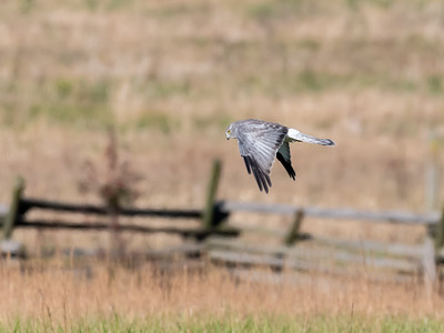 Northern Harrier 8 Nov 2018-4940