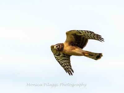 Northern Harrier 7 Nov 2018-4855