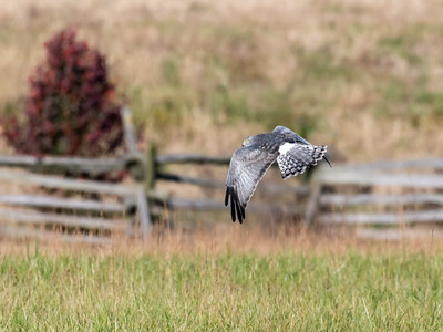 Northern Harrier 8 Nov 2018-4938