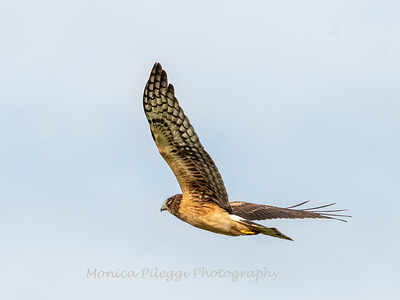 Northern Harrier 7 Nov 2018-4862