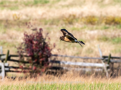 Northern Harrier 7 Nov 2018-4835