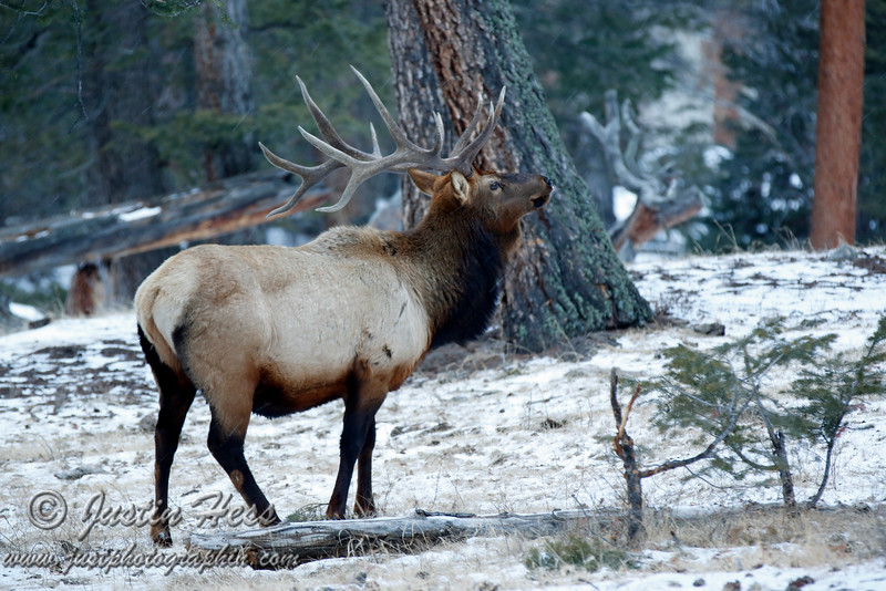 6 x 6 Bull Elk near the west side of Alluvial Fan.