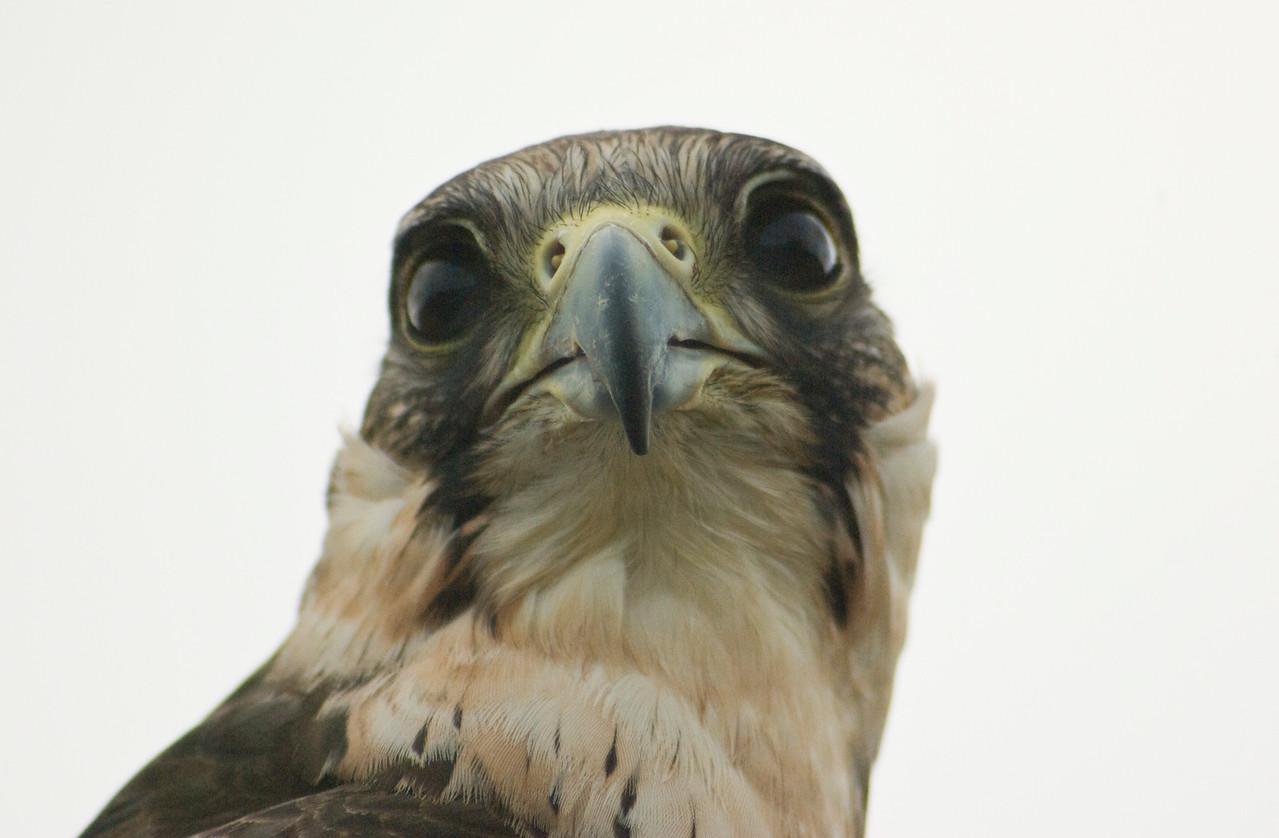 Lanner Falcon (?) portrait, St Ives Raptor Centre