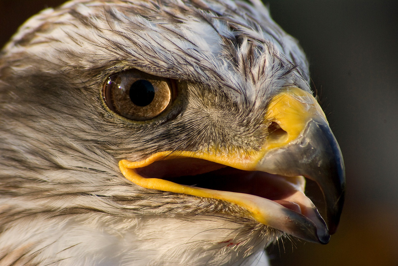 Hawk portrait, St Ives Raptor Centre