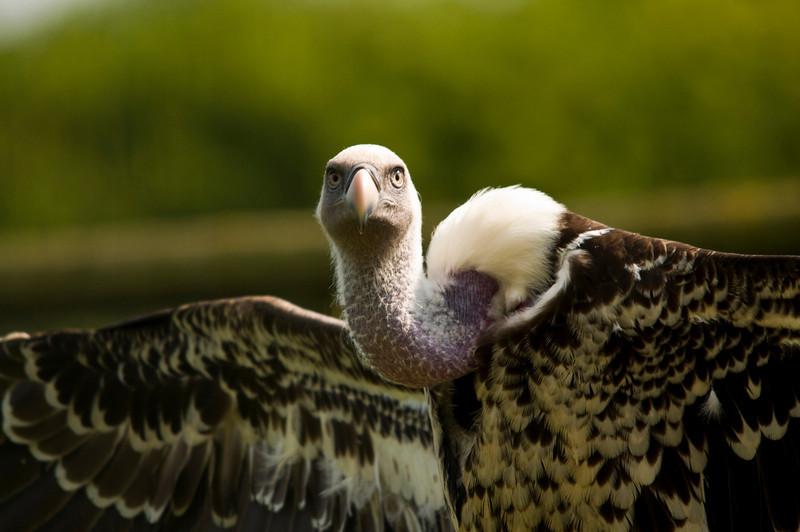 Ruppels Vulture, Hammerton