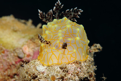 A gold lace nudibranch seems to be glowing from within