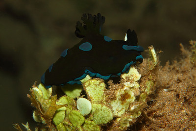 The gloomy nudibranch, or Tambja morosa, is a beautiful black and deep blue nudibranch that can be very hard to find in Hawaii unless you know where to look. My tip is to go muck diving! I have seen some close relatives to this nudibranch in Indonesia.