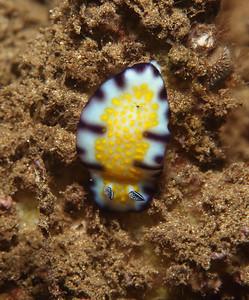 Trembling Nudibranch (Chromodoris vibrata)