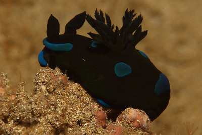 Tambja morosa,  also known as the Gloomy Nudibranch. This is a very difficult nudibranch to photograph since it is so dark but when you look close enough green hues start to stand out from the darker colors melding nicely with the royal blue markings of this striking nudibranch