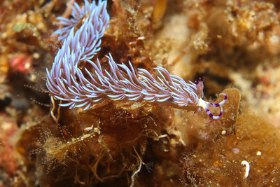 "Pteraeolidia ianthina, the ""Blue Dragon Nudibranch"" is a beautiful kind of sea slug. In the Philippines this species is a vivid purple color underwater."