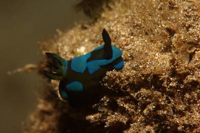Juvenile Gloomy Nudibranch, Tambja morosa