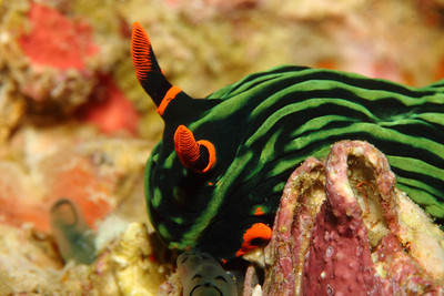 The dusky nembrotha, Nembrotha kubaryana, is one of the wildest colored nudibranchs I have seen. Bright orange rhinophores and mouth with vibrant neon green stripes down its black body.