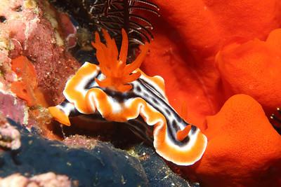 Chromodoris magnifica, near some bright orange sponges