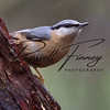 Nuthatch russellfinneyphotography  (34)
