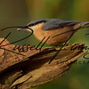 Nuthatch russellfinneyphotography (6)