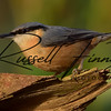 Nuthatch russellfinneyphotography (5)