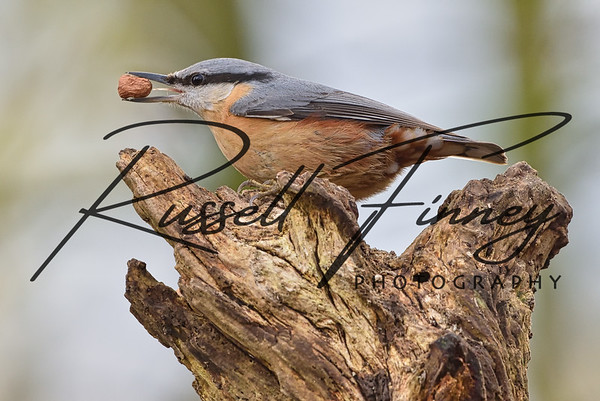 Nuthatch russellfinneyphotography (30)