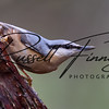 Nuthatch russellfinneyphotography  (32)