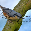 Nuthatch russellfinneyphotography (1)