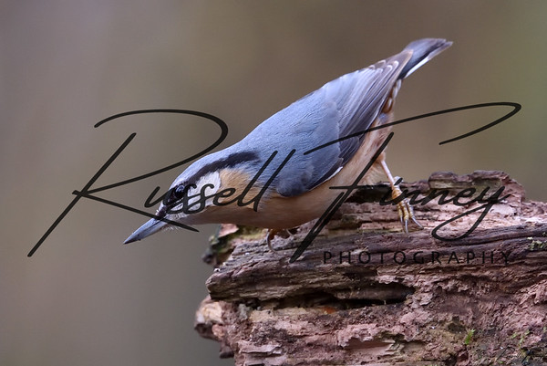 Nuthatch russellfinneyphotography  (36)