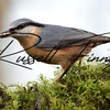 Nuthatch russellfinneyphotography  (43)