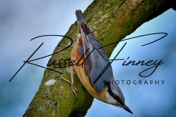 Nuthatch russellfinneyphotography (2)