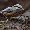 Nuthatch russellfinneyphotography  (35)