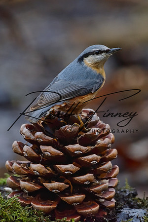 Nuthatch russellfinneyphotography (25)