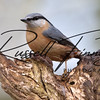 Nuthatch russellfinneyphotography  (39)