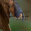 Nuthatch russellfinneyphotography (7)
