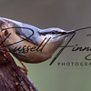 Nuthatch russellfinneyphotography  (33)