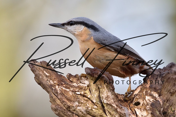 Nuthatch russellfinneyphotography  (38)