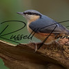 Nuthatch russellfinneyphotography (8)