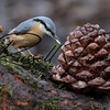 Nuthatch russellfinneyphotography  (37)