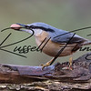 Nuthatch russellfinneyphotography  (40)