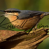 Nuthatch russellfinneyphotography (4)