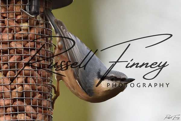 Nuthatch russellfinneyphotography  (44)