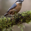 Nuthatch russellfinneyphotography  (45)