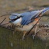 Nuthatch russellfinneyphotography (3)