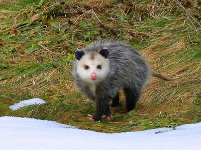 "Several defensive behaviors have been described in opossums. When threatened, an individual may roll over, shut its eyes, and allow its tongue to loll, feigning death, or ""playing possum,"" for some time."