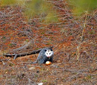 Opossum Didelphis virginiana   Description House cat size.