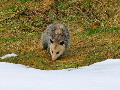 "The Virginia Opossum makes a leaf nest in a hollow log, fallen tree, abandoned burrow, or other sheltered place. After a gestation of less than two weeks, the ""living embryos,"" each the size of a navy bean, climb up through the hair of the female and enter the vertical opening of her pouch. Each takes one of her 13 nipples in its mouth and remains thus attached to the mother for two months. Those who do not obtain a nipple perish."