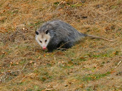 A solitary nocturnal animal, the Virginia Opossum is terrestrial and arboreal, and climbs well. Although it does not hibernate, during very cold weather it may hole up for several days at a time, risking frostbite on its naked ears and tail to seek food when hunger strikes.