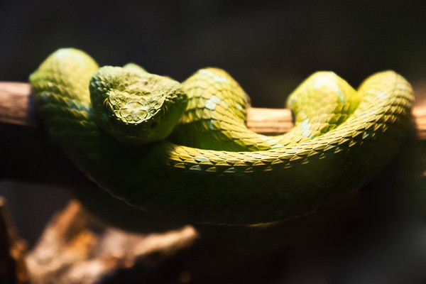 Rawley's Palm Viper