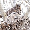 Three new hatchlings.  It's windy in our area and the tree is moving.  The nest is not large, but luckily the owlets are able to hang on.