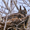 Great Horned mama incubating