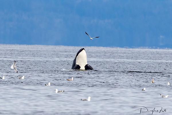 Orca  spy-hopping, Rocky Point
